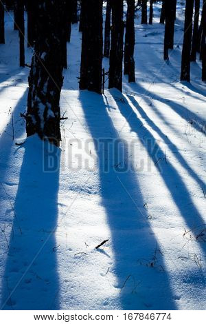 shadows on snow in winter pine forest
