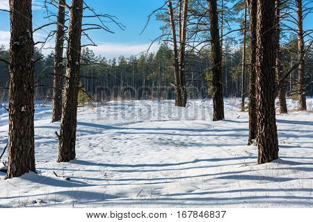 Winter day in pine forest