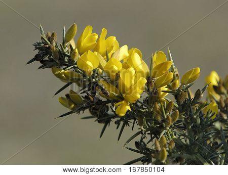 Common Gorse - Ulex europaeus Spiny Yellow Shrub