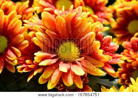 These are orange and yellow flowers and has yellow pollen called Chrysanthemum or Florist's Mun or mums flowers. And a sacred flower of China.