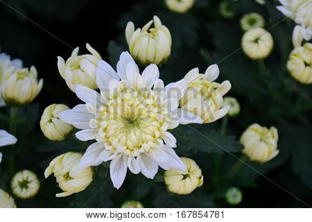 These are white flowers and has yellow pollen called Chrysanthemum or Florist's Mun or mums flowers. And a sacred flower of China.