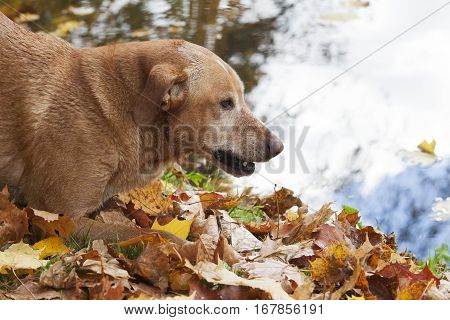 Brown dog lying on the autumn maple leaves. The portrait with the water background.