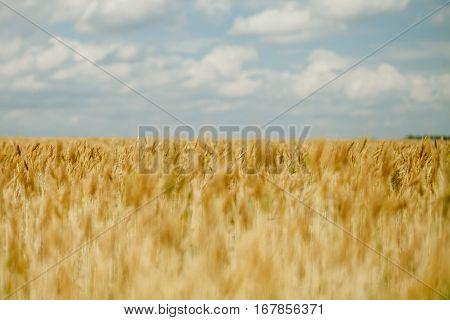 wheat field. Golden wheat landscape. Wheat meadow