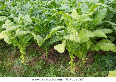 Beautiful landscape Tobacco field plantation under blue sky