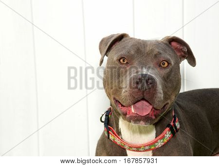 portrait of a pit bull wearing a collar up against a white wood fence mouth open.