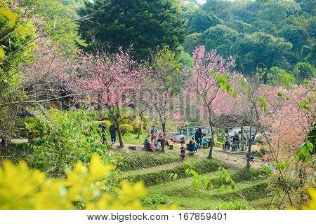 Chiang Mai Thailand - Jan 15 2017 : People visiting Wild Himalayan Cherry or sakura garden at Khun chang kian