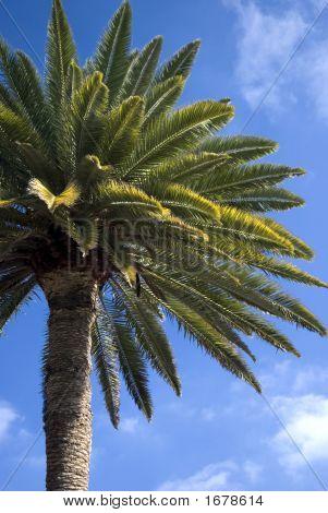 Canarian Palm