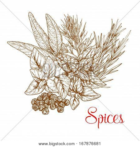 Spices sketch of spicy herb seasonings and herbal culinary condiments. Vector capparis or capers shrubs or caperbush, rosemary or thyme, basil or oregano, sage and mint leaf cooking ingredients