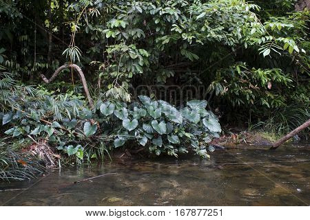 Green Leaves Anubias Along The River In Thailand