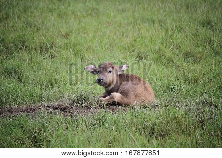 Thai buffalo baby, in Surat Thani,south of Thailand