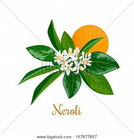 Neroli, twig, flowers and bitter orange. Nature. Vector. Design for essential oil, natural cosmetics, health care products, aromatherapy, homeopathy. For prints, poster, logo, tag, label, textile,