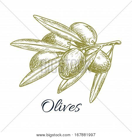 Olive bunch sketch icon of green olive plant tree branch. Vector isolated design for olive oil label, salad ingredient and seasoning of healthy vegetarian and vegan vegetable food menu. Italian, Mediterranean, Greek or Spanish cuisine cooking symbol