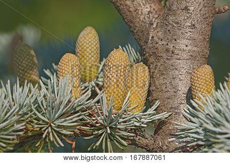 Atlas Cedar Pllen Cones