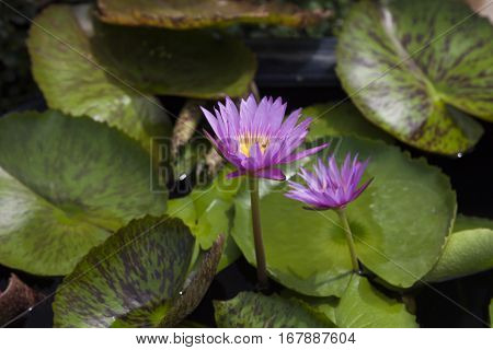 The water-lily grows in water on joy to people and frogs