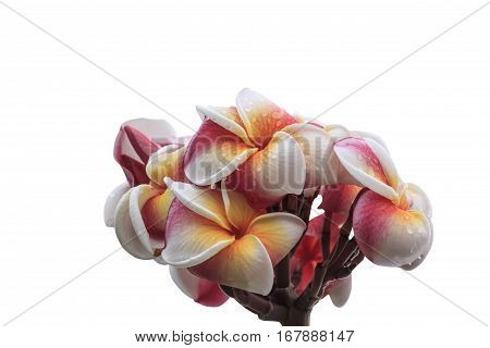 Frangipani flower isolated on white background with clipping path