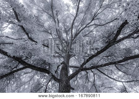 Winter crown of the pine tree in Huangshan National park. China.