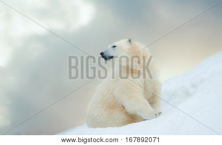 beautiful young polar bear on the north