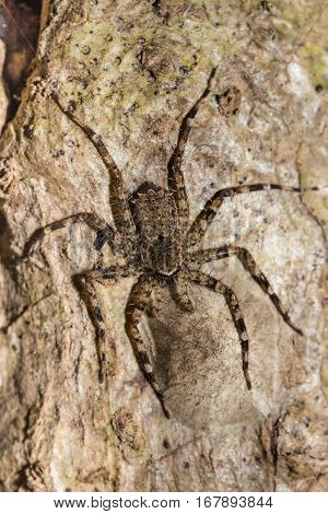 Huntsman Spider On Tree Trunk Madagascar Wildlife