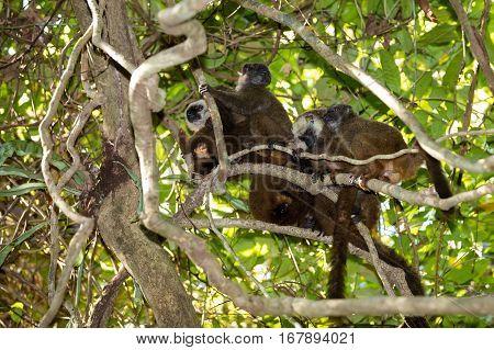 Family Of White-headed Lemur Madagascar Wildlife