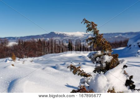 Snow Covered Juniper branch in winter. High mountain landscape with sun.