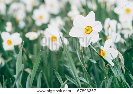 Closeup on flowerbed with yellow daffodil or narcissus flowers blooming in the spring. Shallow depth of field
