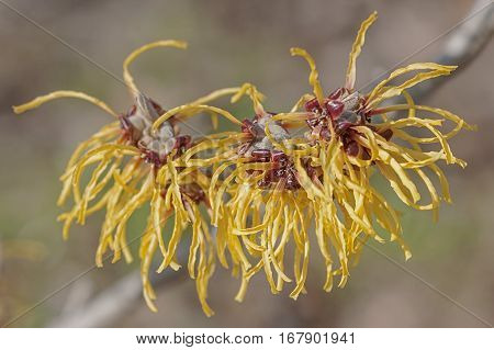 Barmstedt Gold Witch Hazel Flowers