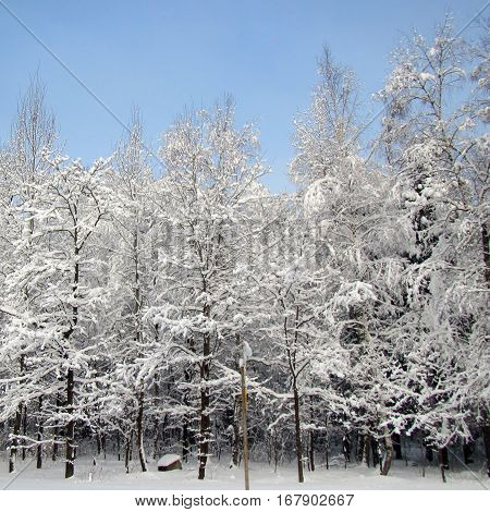 Russian Winter forest with snow and trees