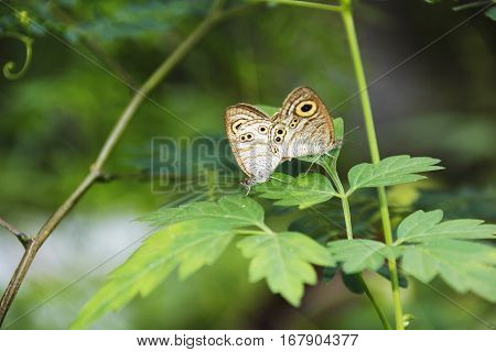 A two tiny light brown butterfly on act of reproducing