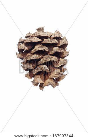 Lace-bark Pine Cone