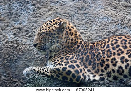 Leopard or Panthera pardus is resting on stone