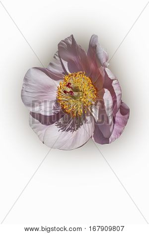 Hybrid peony (Paeonia x hybrid). Image of flower isolated on white background