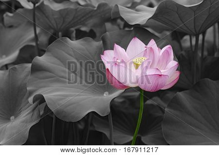Sacred lotus (Nelumbo nucifera). Called Indian Lotus Bean of India and Lotus also. Modified image of flower