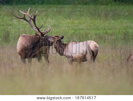 Bull and Cow Elk Nuzzle in a mating ritual during the rut season