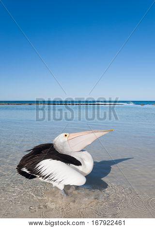Australia Yanchep Lagoon 04/18/2013 Australian pelican paddling in the shallows on an australian beach