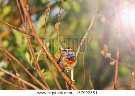 Bluethroat good sunny morning singing song with sunny hotspot, birds and animals in the wild life, bird in the native environment