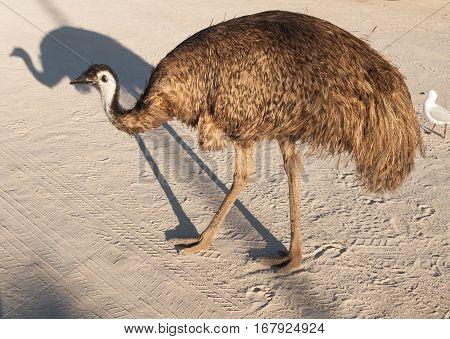 Australia Monkey Mia 01/04/2015 Australian emu walking through an outback car park