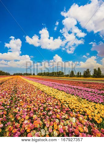 Colorful field, planted with flowers. Garden buttercups bloom in bright colors. Walk on a sunny day. The concept of eco-tourism