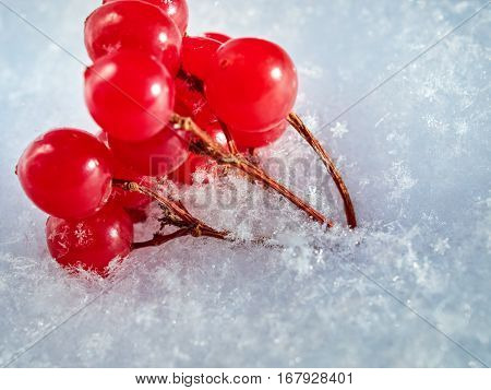 The red berries of a guelder-rose with the first snow. Macro