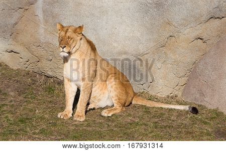 Lioness Resting In Het Natural Habitat