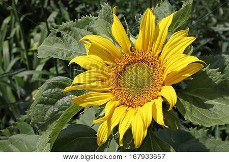 A Single Sun Flower In A Field Of Sunflowers.