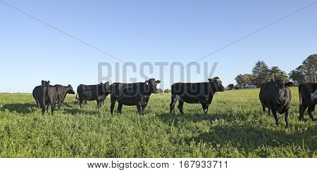 A Black Calfs On A Farm In Rural America.