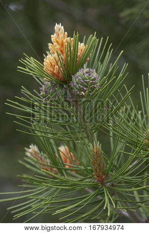 Lace-bark pine (Pinus bungeana). Pollen cones and seed one