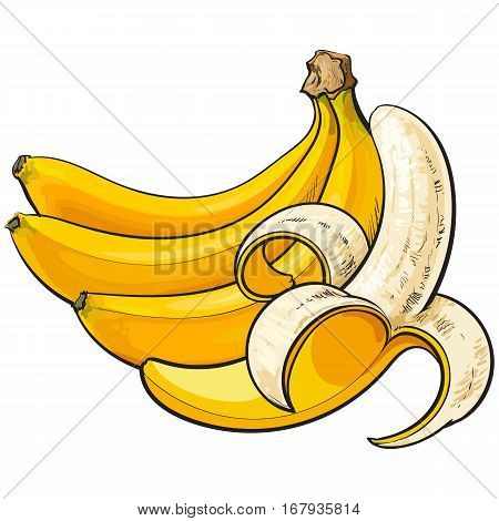 bananas, one open, another unopened and unpeeled, sketch style vector illustration isolated on white background. Realistic hand drawing of open and unopened ripe bananas
