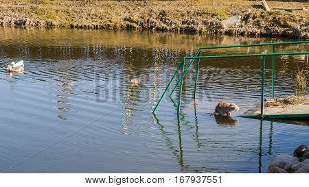 Nutria With Ducks On A Farm Near The Pond