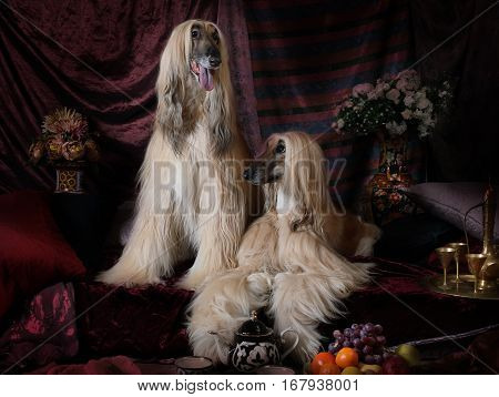 Two elegant Afghan hounds dogs in the Arab style interior with flowers and fruit