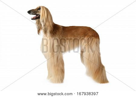 Purebred Afghan hound dog standing in show position isolated on white background