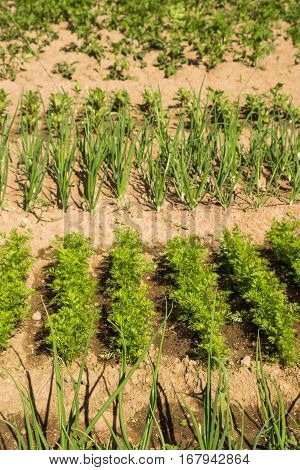Edible Greens Grown In The Garden Under The Summer Sun