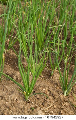 Green Onions Growing In The Beds In The Garden