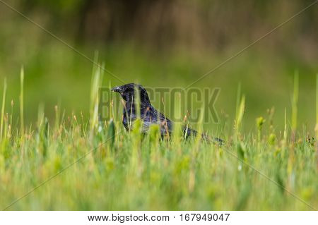 Carrion Crow (Corvus corone) standing in green grassland