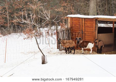 Cameroon sheep on a snowy pasture. Sheep in the snow.